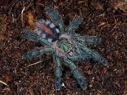 sapphire tarantula for sale tarantulas reptiles