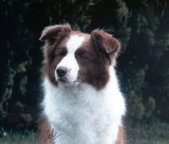 australian shepherd 7 mesi border collie