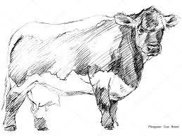 cow cow sketch dairy cow pencil sketch animal farm pinzgauer