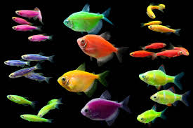 what u0027s your favorite type of glofish glofish tetras glofish