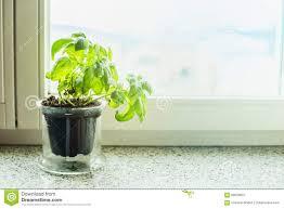 herb pots for windowsill basil plant in a pot on windowsill stock photo image 68538607