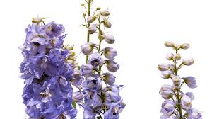 delphinium flower timelapse larkspur flower growing and blooming plant pflanzen