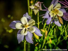 columbine flowers columbine flowers picture of wyoming tours jackson