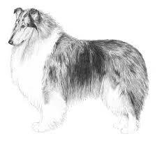 bearded collie mdr1 embark dog dna test breed