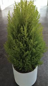 leighton green hedging cypress hello cypress shrub varieties cypress plant solidaria garden