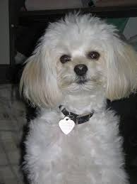 cost of a bichon frise chi chon dog breed information and pictures