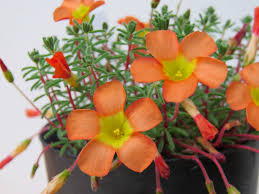 plants native to africa talking plants oxalis brings pale potted colour