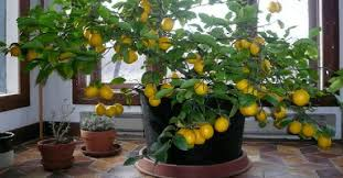 beautiful house plants how to grow a lemon tree from seed easily in your own home