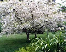 flowering cherry trees for small gardens cori u0026matt garden