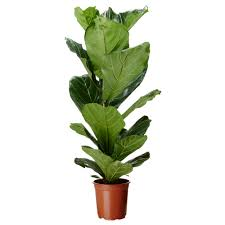 ficus lyrata potted plant ikea 13 fiddle leaf fig tree