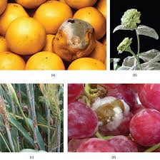 Plant Diseases Caused By Microorganisms - fungal parasites and pathogens boundless biology