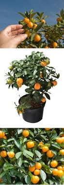 citrus tree planting directions how to grow a citrus tree