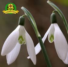 Free Shipping Flowers Aliexpress Com Buy Free Shipping Snowdrop Flowers Seeds