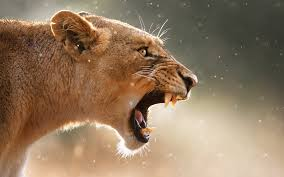 male lion wallpapers angry male lion wallpapers pictures photos images 1 chainimage