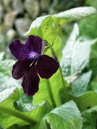 streptocarpus u0027black panther u0027 the gardener u0027s eden