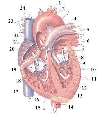 External Heart Anatomy Heart Anatomy Practical Quiz