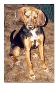 bluetick coonhound uk breeders coonhound breed profile