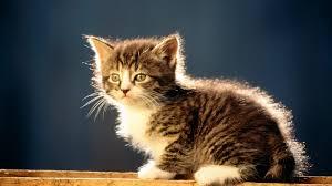 desktop wallpaper download hd cat 49616 kitty animal