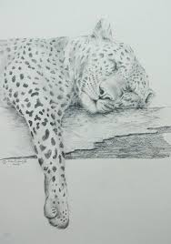 sleeping leopard drawing by alan pickersgill