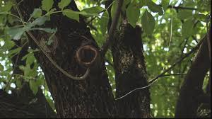 invasive pest could kill tens of thousands of trees in nashville