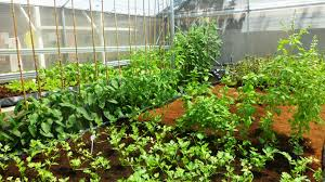 Hydroponics Vegetable Gardening by Everything You Need To Know About Our Hydroponic Vegetable Garden
