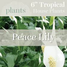 toronto flower delivery house plants peace lily 6