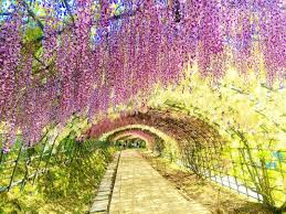 japan is going crazy over these spellbinding wisteria tunnels