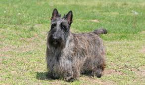 brindle cairn haircut scottish terrier dog breed information