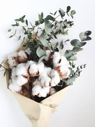 cotton flowers fluffy cotton and eucalyptus filed nature cotton