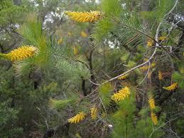 sydney native plants sydney u0027s wildflowers and native plants persoonia pinifolia pine