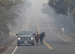 California Wildfire Dateline by Farm Animals Find Refuge From Northern California Fires