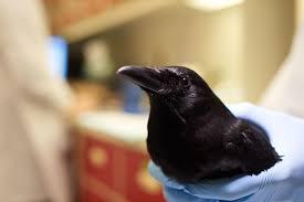 meet the bird brainiacs american crow audubon