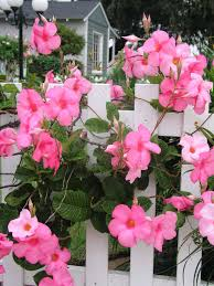How To Revive A Plant Help Your Mandevilla Through The Cold Hgtv