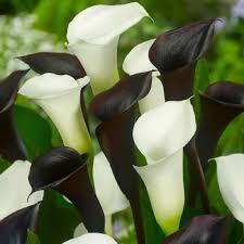 white calla calla bulbs black white mix