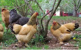 Backyard Chicken Magazine by Best Chickens For Small Backyards Backyard Decorations By Bodog