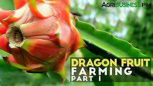 dragon fruit farming in the philippines dragon fruit farming