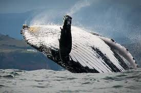 Whale The Best Whale Watching Spots In The Cape U2013 The Inside Guide