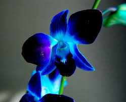 blue orchid flower 9 best flowers images on blue orchids orchid flowers