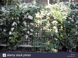 white clematis on trellis fence stock photo royalty free image