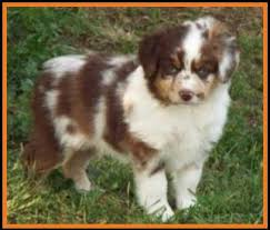 mini australian shepherd 7 weeks litter 2 callie ghost eye mini aussies available puppies for sale