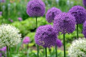 plant bulbs in fall for a beautiful display birds and blooms