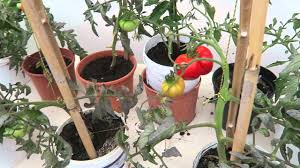 grow tomatos in small pots what size pots work ripe tomato