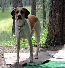 bluetick coonhound beagle bluetick coonhound german shepherd mix dog and cat