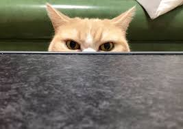 Angry Cat Meme - is this angry japanese cat the new grumpy cat