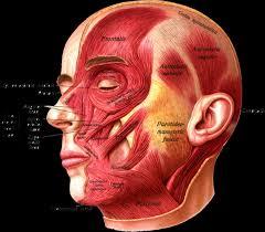 Human Anatomy Atlas Head Anatomy Atlas Anatomy Atlas Head Amp Neck Human Anatomy
