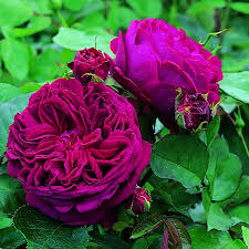 purple roses for sale sale news ardcarne garden centre roscommon boyle