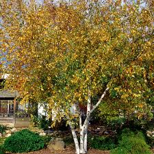 ornamental trees for sale nature nursery