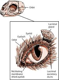 Surface Anatomy Eye Eye Structure And Function In Cats Cat Owners Merck Veterinary