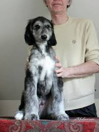 afghan hound puppies ohio 590 best afghan hounds puppies images on pinterest