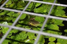 brisbane backyard naturalist discovering raising and releasing